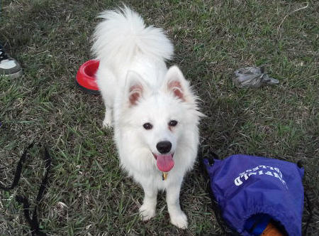 Ronan the American Eskimo Pictures 921850