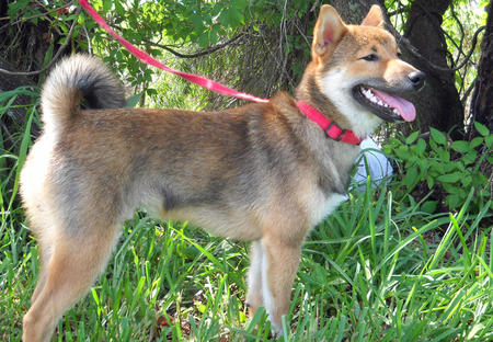 Roodie the Shiba Inu Pictures 666387