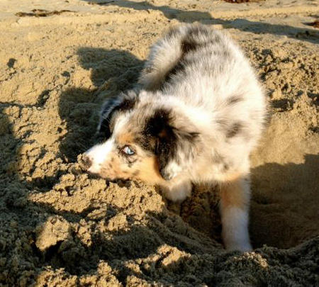 Rooster the Australian Shepherd Pictures 989904
