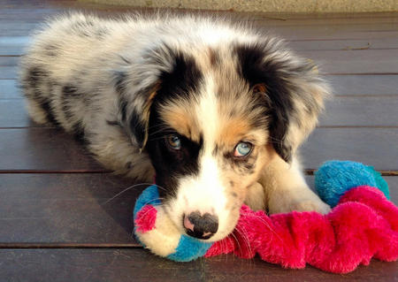 Rooster the Australian Shepherd Pictures 989905