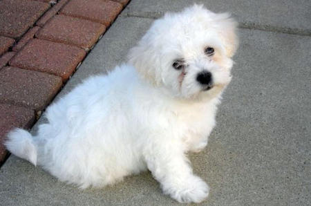 Rory the Bichon Frise Pictures 847532