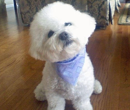 Rory the Bichon Frise Pictures 847533