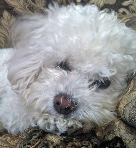 Rory the Bichon Frise Pictures 847534