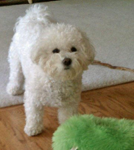 Rory the Bichon Frise Pictures 847531