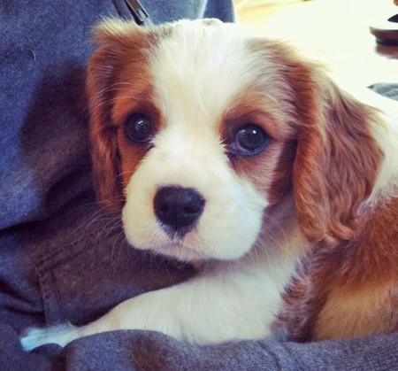 Rory the Cavalier King Charles Spaniel Pictures 975254