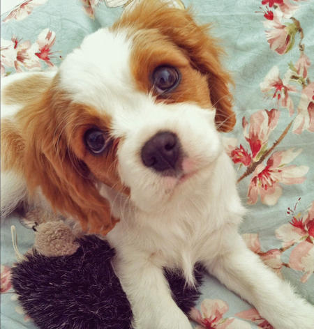 Rory the Cavalier King Charles Spaniel Pictures 975252