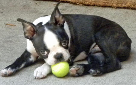 Rosco the Boston Terrier Pictures 808694