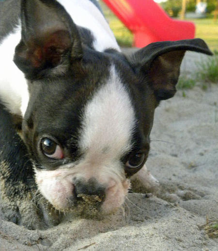 Rosco the Boston Terrier Pictures 808695