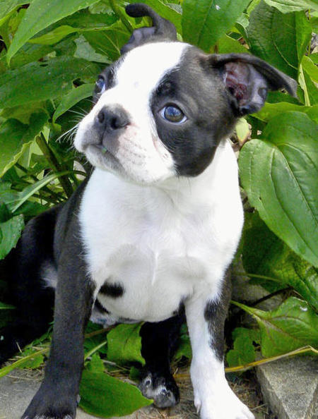 Rosco the Boston Terrier Pictures 808696