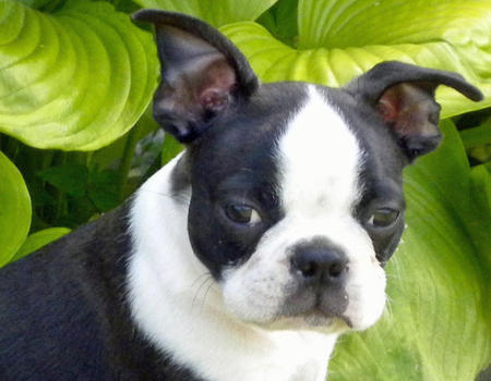 Rosco the Boston Terrier Pictures 808697
