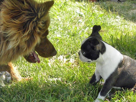 Rosco the Boston Terrier Pictures 808698