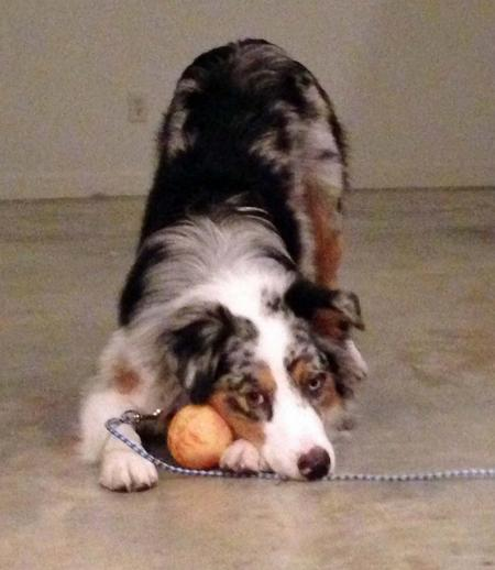 Roscoe the Australian Shepherd Pictures 939562
