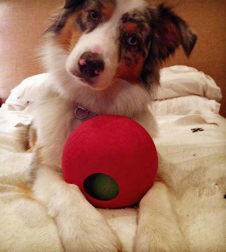 Roscoe the Australian Shepherd Pictures 939563
