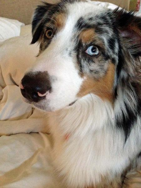 Roscoe the Australian Shepherd Pictures 939565