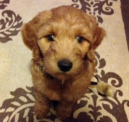 Rosie the Goldendoodle Pictures 957491