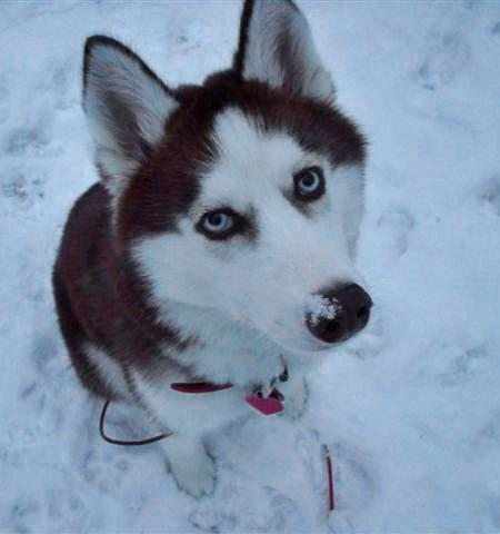 Rosie the Siberian Husky Pictures 588964