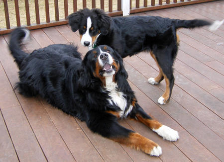 Rosy the Bernese Mountain Dog Pictures 724379