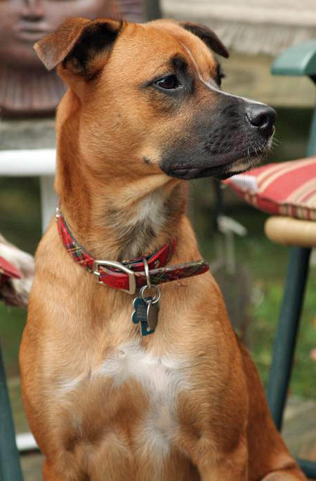 Roxie the Boxer Mix | Dogs | Daily Puppy
