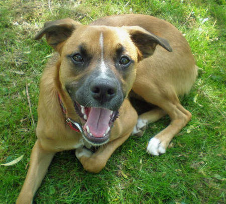 Roxie the Boxer Mix Pictures 433500