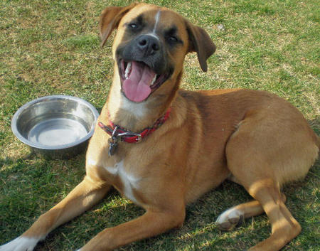 Roxie the Boxer Mix Pictures 433502