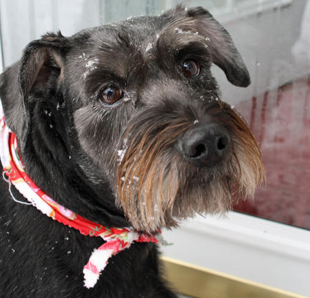 Roxie the Schnauzer Mix Pictures 750987
