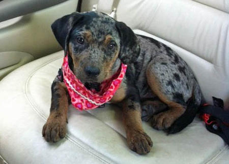 Roxy the Catahoula Leopard Dog Pictures 981395