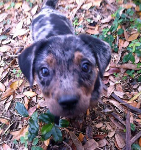 Roxy the Catahoula Leopard Dog Pictures 981397