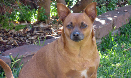 Roxy the Chihuahua Pictures 716352