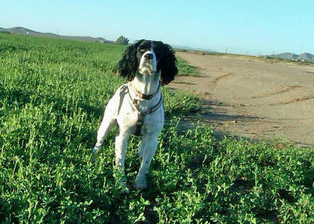 Roxy the English Springer Spaniel Pictures 924770