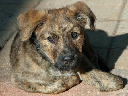 Roxy the German Shepherd Mix Pictures 1033285