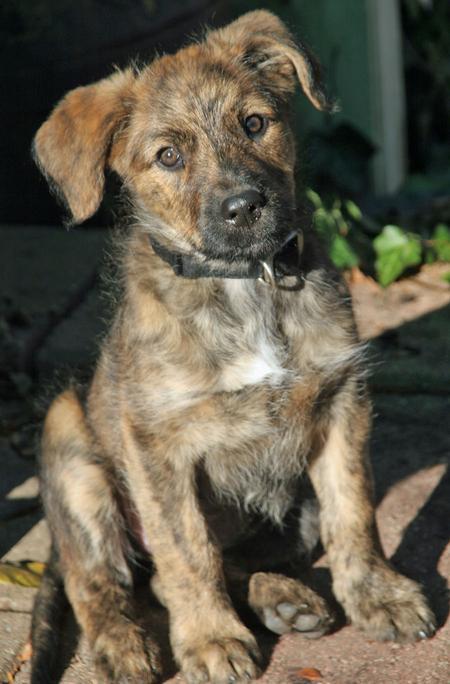 Roxy the German Shepherd Mix Pictures 1033286