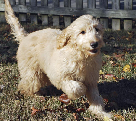 Roxy the Goldendoodle Pictures 692021