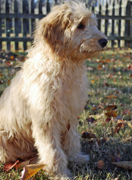 Roxy the Goldendoodle Pictures 692022