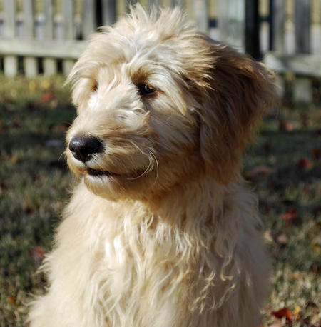 Roxy the Goldendoodle Pictures 692023