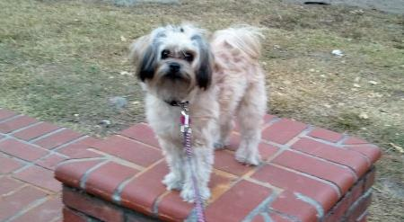 Roxy the Shih Tzu Mix Pictures 943548