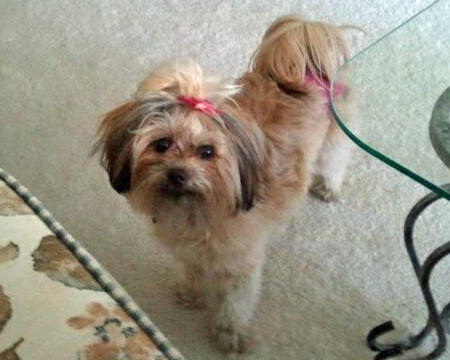 Roxy the Shih Tzu Mix Pictures 943550