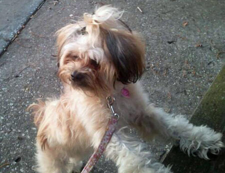 Roxy the Shih Tzu Mix Pictures 943546