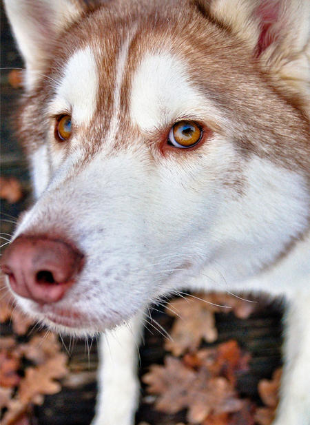 Royal the Siberian Husky Pictures 534607