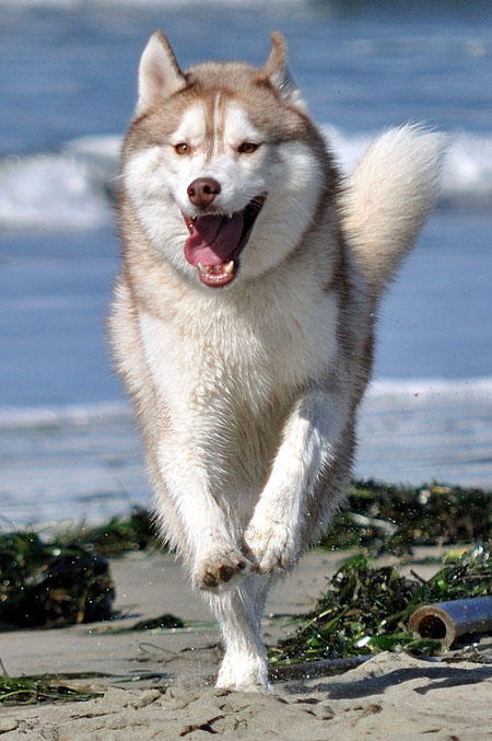 Royal the Siberian Husky Pictures 534597
