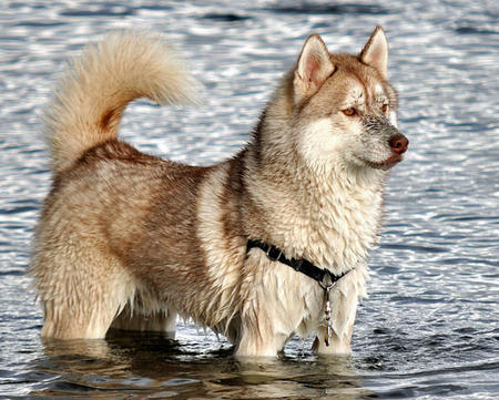 Royal the Siberian Husky Pictures 534602