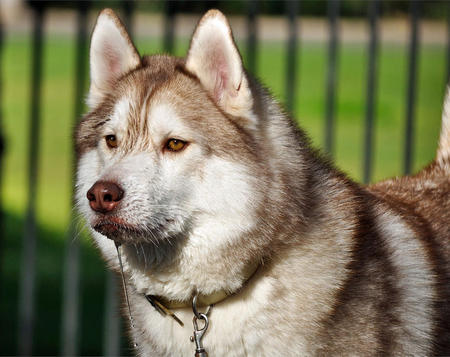 Royal the Siberian Husky Pictures 534603