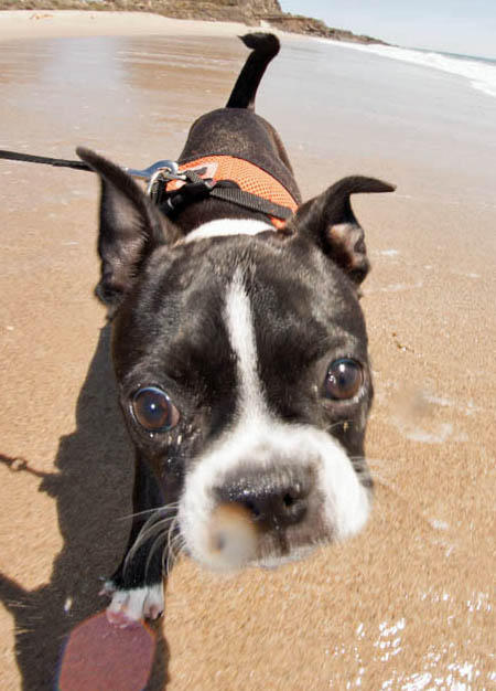 Ru the Boston Terrier Mix Pictures 966315