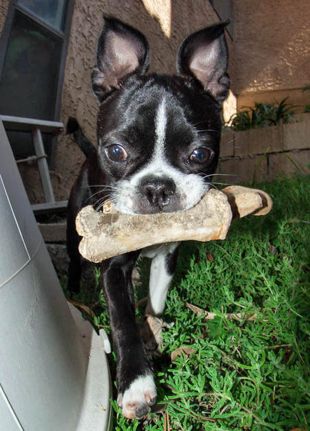 Ru the Boston Terrier Mix Pictures 966317