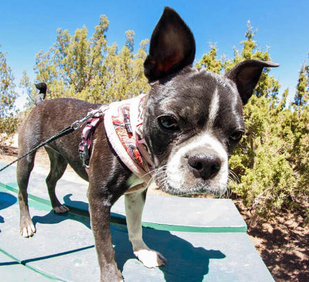 Ru the Boston Terrier Mix Pictures 966318