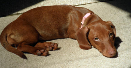 Rubie the Dachshund Pictures 669329