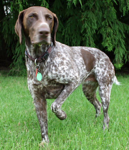 Ruby the German Shorthaired Pointer Pictures 733715