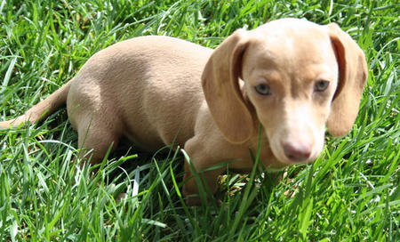 Ruby Rose the Dachshund Pictures 666148