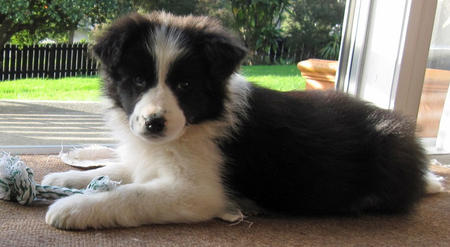 Scout the Border Collie Mix | Puppies | Daily Puppy - HD Wallpapers