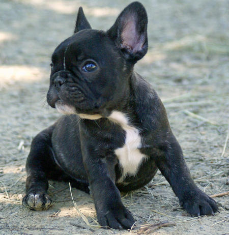 Ruby the French Bulldog Pictures 668583