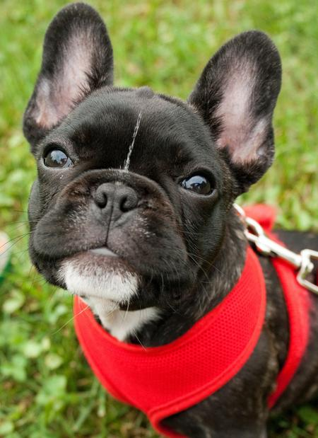 Ruby the French Bulldog Pictures 668585